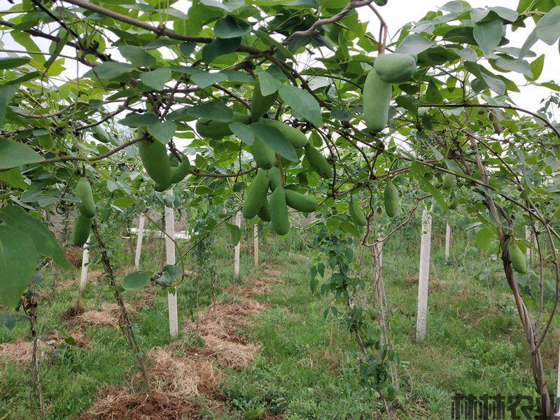 八月瓜病虫害防治之八月瓜根腐死树的防治措施(图1)